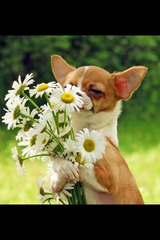 Dog_with_his_hands_holding_flowers